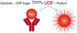 BellBrook Labs Transcreener UDP2 Assay for UDP-glycosyltransferases.